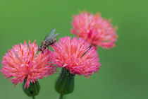 pink flowers with fly by Craig Lapsley
