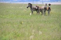 Zebra Group by Diane Langenstrass