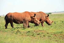 Pair of grazing Rhino by Diane Langenstrass