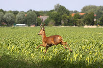 Rehbock im Feld - Roe buck in the field von ropo13