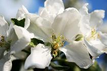 Blütentraum in Weiß von Heidrun Lutz
