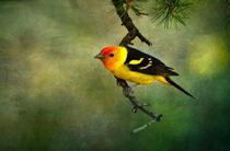 Western Tanager by Barbara Magnuson & Larry Kimball