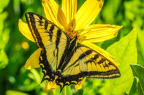 Inbf-0049-western-tiger-swallowtail-papilio-rutulus