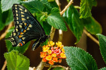 Inbf-0092-bairds-old-world-swallowtail-butterfly-papilio-machaon