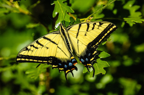 Inbf-0100-two-tailed-swallowtail-butterfly-papilio-multicaudata