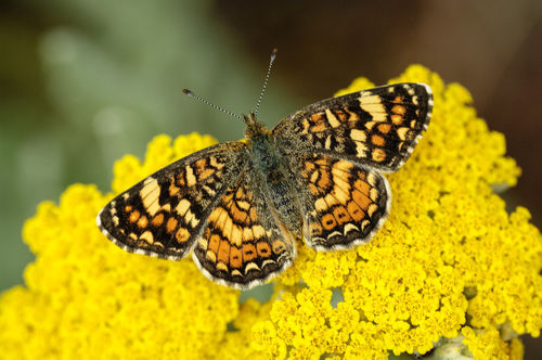 Inbf-0108-field-crescent-butterfly-phyciodes-campetris