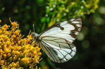 Pine White Butterfly by Barbara Magnuson & Larry Kimball