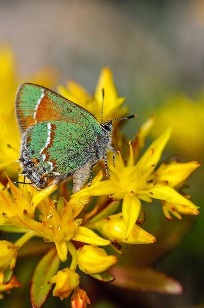 Inbf-0199-siva-juniper-hairstreak-butterfly-callophrys-gryneus-siva