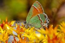 Siva Butterfly von Barbara Magnuson & Larry Kimball