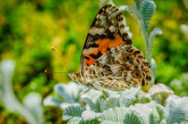 Painted Lady Butterfly von Barbara Magnuson & Larry Kimball