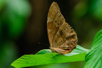Inbf-0252-morpho-butterfly-morpho-peleides-limpida
