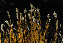 Grasses by Barbara Magnuson & Larry Kimball