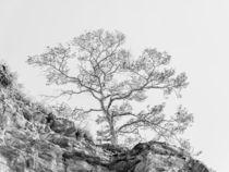 Kiefer auf Felsen- highkey von Erhard Hess