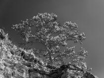 Kiefer auf Felsen- lowkey von Erhard Hess