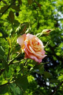 Kletterrosenblüte by lorenzo-fp