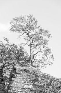 Kiefer auf Felsen II- highkey von Erhard Hess