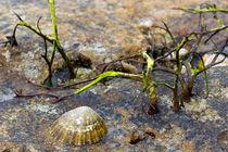 Muschel mit Algen von Karsten Müller