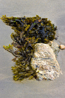 Algen-Stein am Strand von Lecanvey. von Karsten Müller