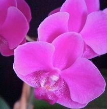 Kira's Orchid  von Christine Chase Cooper