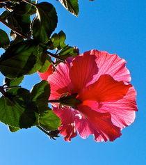 Coral Hibiscus von Christine Chase Cooper