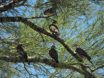 Doves in a Palo Verde Tree, Tucson, Arizona von Terry Kepner