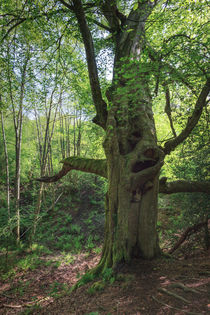Ancient Beech by David Tinsley