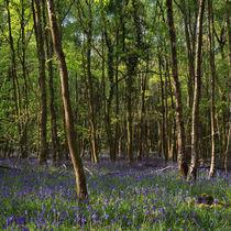 Birch Wood Bluebells von David Tinsley
