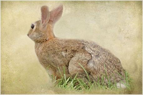 Brown-bunny