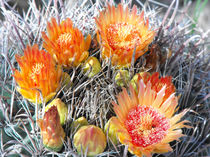 Barrel Cactus in Bloom, Yellow Flowers and Fruit von Terry Kepner
