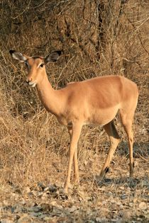 Antelope by Diane Langenstrass