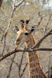 Young Giraffe by Diane Langenstrass