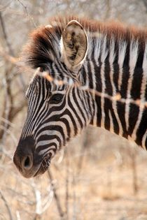 Zebra by Diane Langenstrass