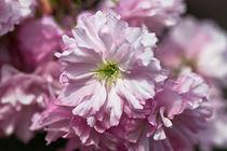 japanische Kirschblüte von Karsten Müller