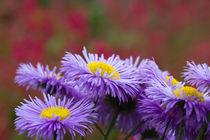 Lavendelblauer Feinstrahl (Erigeron speciosus) von Ralph Patzel
