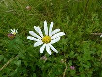 Kleines Gänseblümchen auf der Wiese von Eva-Maria Di Bella