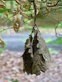 Vertrocknete Eichenblätter am Baum von Eva-Maria Di Bella