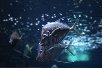 Sad Fish... von olgasart