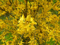 Forsythie in voller Blütenpracht by Eva-Maria Di Bella