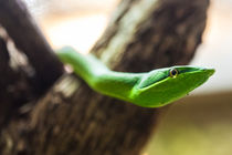 green vine snakes head von Craig Lapsley