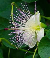 Kapernblüte by lisa-glueck