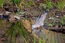 Crested Pigeon von eifel-wildlife