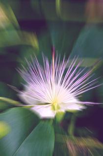 Kapernblüte-Variation 2 von lisa-glueck