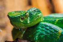 green tree pit viper by Craig Lapsley