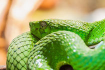 Green palm pit viper close up by Craig Lapsley