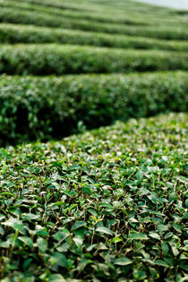 Mae Salong Tea Plantations. von Tom Hanslien