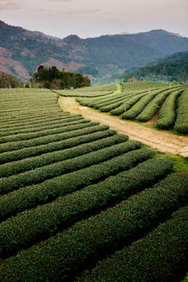 Mae Salong Tea Plantations von Tom Hanslien