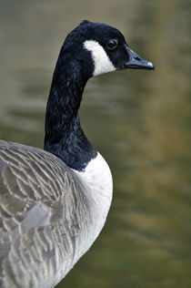 Canada Goose Portrait von Rod Johnson