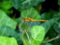 Golden Dragonfly von bebra