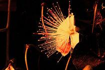 Kapernblüte-Variation8 von lisa-glueck