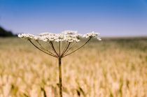 Cow-parsley-wheat-field